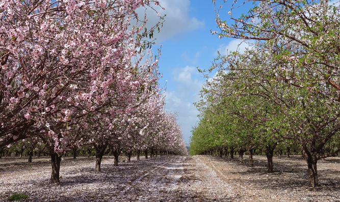 Blossoming Fruit Trees - Ayalon Valley, Eretz Yisrael
