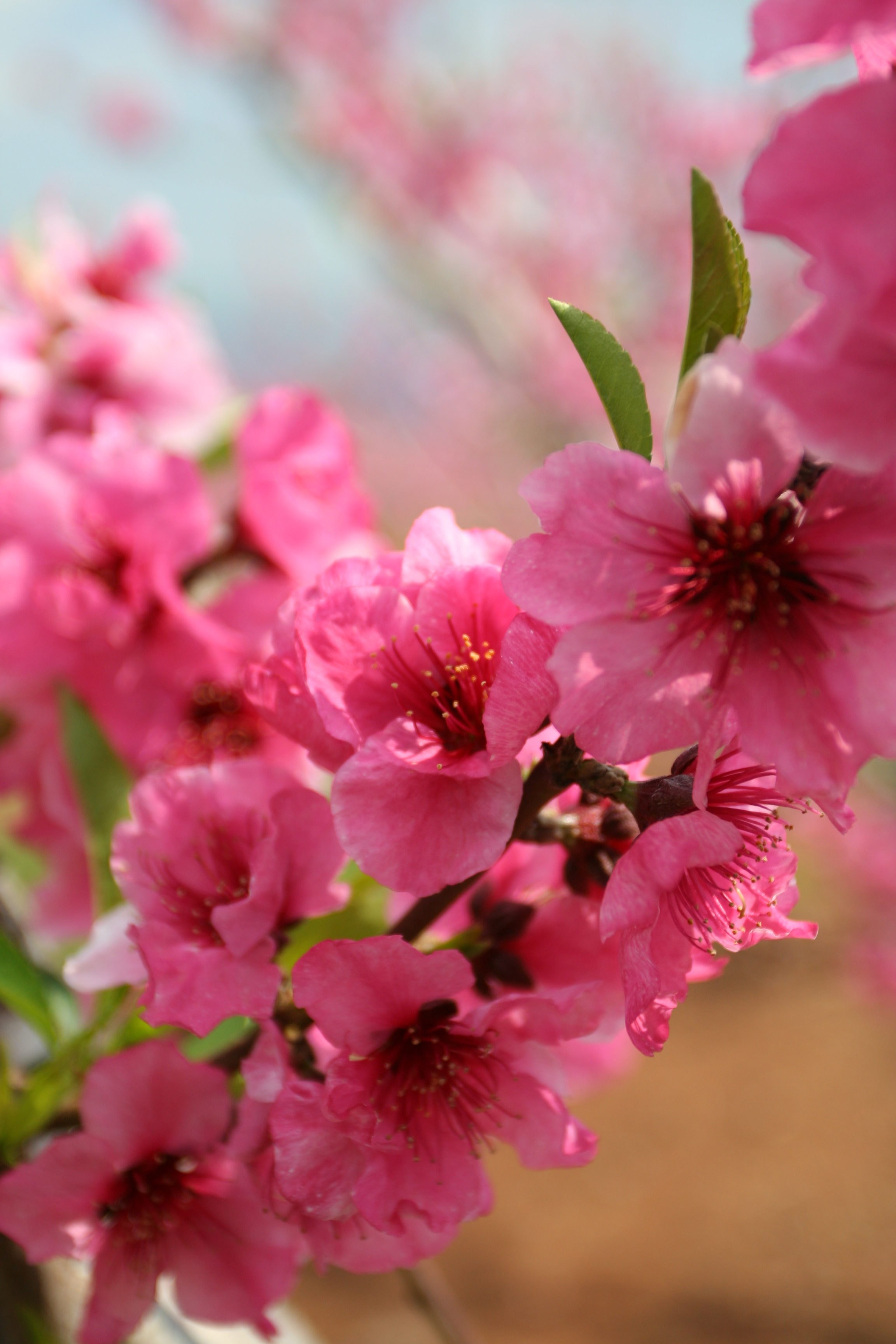 Peach Blossoms in the Golan